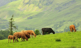 Mountain cattle, Lake district, Cumbria. A herd of cattle, grazing on the lush mountain pasture of the Lake district national park, in the north of England Royalty Free Stock Photo
