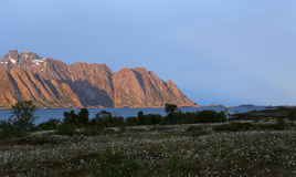Mountain chain and Henningsvaer in Lofoten midnight sun. Red coloured mountains and Henningsvaer village in midnightsun, cottongrass on foreground Stock Photo