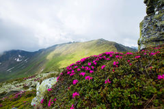 Mountain chain landscape with pink Rhododendron Stock Photo
