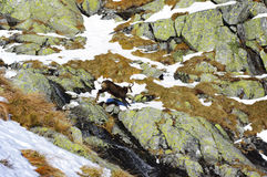 Mountain chamois jumps over the rocks Stock Image