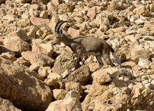 Mountain chamois among rocks Royalty Free Stock Photo