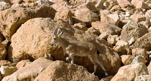 Mountain chamois among rocks Stock Photos