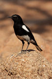 Mountain Chat. (Oenanthe monticola) in Namibia stock photography