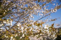 Flowers and branches. Mountain cherry blossoms Cerasus jamasakura in front of branches Stock Photography