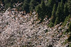 Flowers and conifer forest. Mountain cherry blossoms Cerasus jamasakura in front of conifer forest Stock Photo
