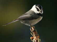 Mountain Chickadee. A friendly Mountain Chickadee on a spruce Royalty Free Stock Images