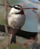 Mountain Chickadee Stock Image