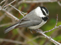 Mountain Chickadee. (Poecile gambeli), photographed in Spokane, WA Royalty Free Stock Photography