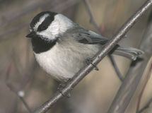 Mountain Chickadee. A portrait of a Mountain Chickadee in winter Stock Photos