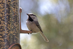 Mountain Chickadee on Backyard Feeder Royalty Free Stock Image