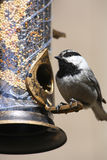 Mountain Chickadee (The Cheeseburger Bird) Stock Photography