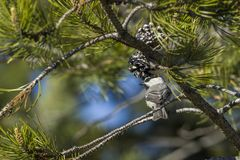 Mountain chickadee perched on a branch. A small mountain chickadee is perched on a branch in a pine tree at Farragut State Park in north Idaho stock image