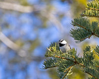 Mountain Chickadee In Pine. A black and white mountain chickadee bird (Poecile gambeli) sitting in a pine tree in the forest stock photography
