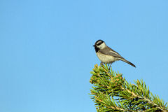Mountain Chickadee, Poecile gambeli Royalty Free Stock Images