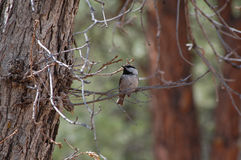 Mountain Chickadee (Poecile gambeli) stock photography