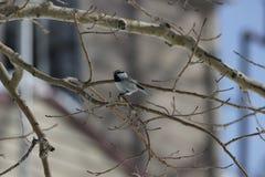 Mountain chickadee (Poecile gambeli) Royalty Free Stock Photo