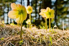 Christmas rose - early spring flowers in the German Alps. Mountain christmas rose: beautiful yellow early spring flowers in the German Alps, Europe royalty free stock images