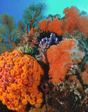 Mountain of Color. The reefscape taken in Bangka, Indonesia is lush with soft and hard corals, sea fans, crinoids, tunicates and the most incredibly brilliant stock image