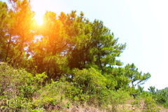 Mountain coniferous trees grow more Stock Photography