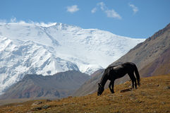 Mountain contrast 1. Horse in the Base Camp 1, with the Lenin peak in background Royalty Free Stock Images