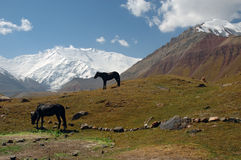 Mountain contrast 2. Horses in the Base Camp 1, with the Lenin peak in background Stock Images