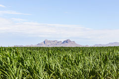 Mountain and corn field. Large corn field with a mountain range in Arizona, USA Stock Photos
