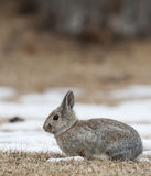 Mountain Cottontail Stock Photography