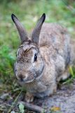 Mountain Cottontail Rabbit in Alberta, Canada. Close up of a Mountain Cottontail rabbit or Nuttall`s cottontail Sylvilagus nuttallii spotted in the Canadian wild stock photos