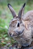 Mountain Cottontail Rabbit in Alberta, Canada. Close up of a Mountain Cottontail rabbit or Nuttall`s cottontail Sylvilagus nuttallii spotted in the Canadian wild stock photo