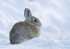 Mountain cottontail rabbit on deep snow looking cold in the wint. Er Royalty Free Stock Image