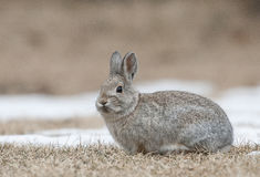Mountain cottontail rabbit on grass and snow with dead grass as Stock Image