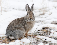 Mountain Cottontail on Snow. Mountain Cottontail out for evening meal on the snow in Yellowstone National Park royalty free stock photography