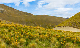 Mountain cover with tussock and alpine flower Royalty Free Stock Image