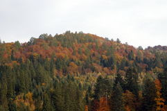 Mountain covered by forest of green firs Royalty Free Stock Photography