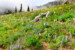 Mountain covered in wild flowers with fog Stock Image