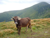 Mountain cow Stock Images