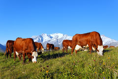 Mountain cow 2 Royalty Free Stock Images