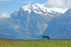 Mountain Cow. Cow grazing in an idylic alpine pasture in the Swiss Alps Royalty Free Stock Image