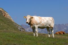 Mountain cow. Cow in the Swiss mountains Stock Photos