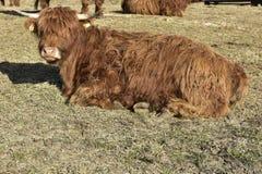 Mountain Cow in Carinthia, South Austria, Europe Royalty Free Stock Photo
