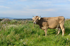 Mountain Cow Royalty Free Stock Photos