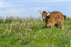 Mountain Cow Royalty Free Stock Photography