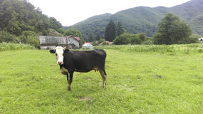 Mountain Cow. Highland pasture graze milk nature bovine agriculture green rural countryside Royalty Free Stock Images