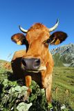 Mountain cow look Stock Image