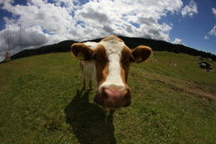Mountain cow photographed with fish eye lens Stock Photo