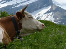 Mountain cow Stock Photo