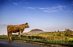 Mountain cow. A cow and a mountain, slemish mountain, nice contrast of colour and perspective Stock Photography