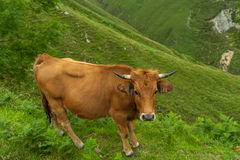 Mountain cow Stock Image
