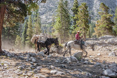 Mountain Cowboy. Aug 1, 2012. John Muir Trail, Kings Canyon National Park, California, USA.  A cowboy on horseback leads a mule caravan loaded with supplies to a Royalty Free Stock Images