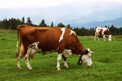 Mountain cows. Two cows grazing in Vosges mountains Royalty Free Stock Photo